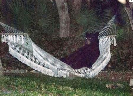 Bear On A Hammock