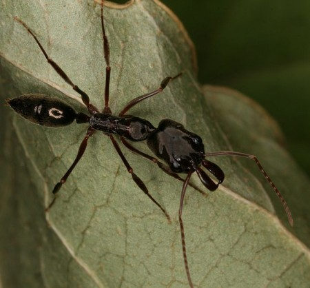 Trap Jaw Ant - Photo by Nathan Burkett-Cadena