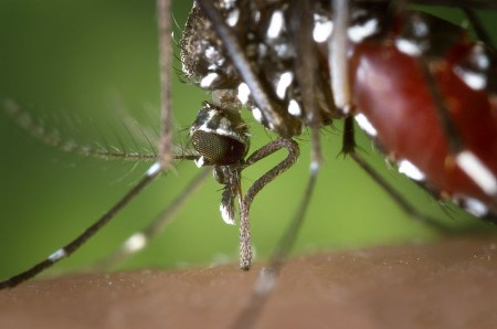 Asian Tiger Mosquito - Public Domain