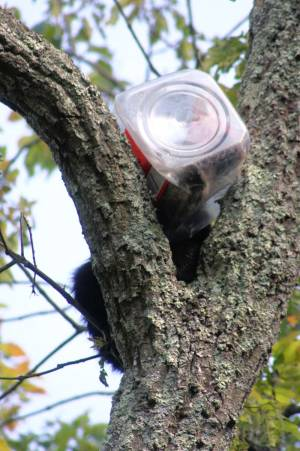 Bear Cub Head Stuck In Cookie Jar - Photo by New Jersey Department of Environmental Protection