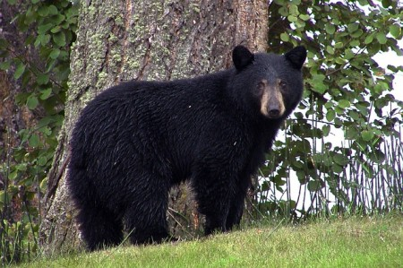 Black Bear - Public Domain