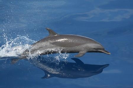 Dolphin - Public Domain