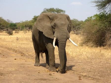 Elephant - Public Domain