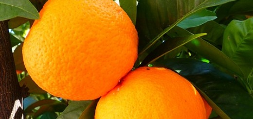 Orange Tree - Public Domain