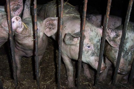 Pigs - Photo by Maqi