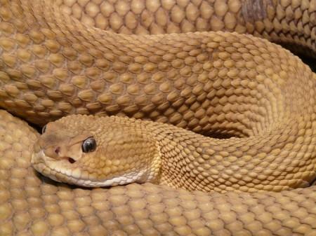 Rattlesnake - Public Domain
