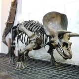 Triceratops - photo by Ghedoghedo