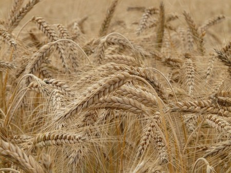 Wheat - Public Domain