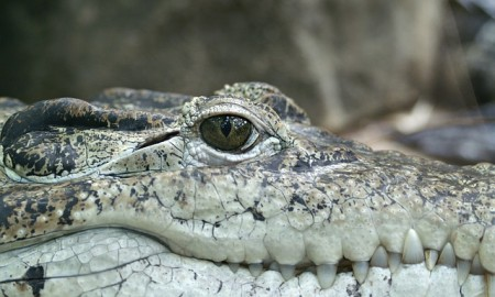 Alligator - Public Domain