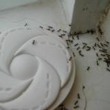 Argentine Ants - Public Domain