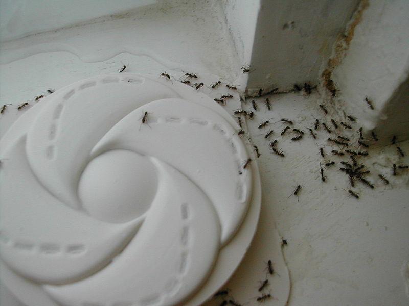 Argentine ants bite - photo#5