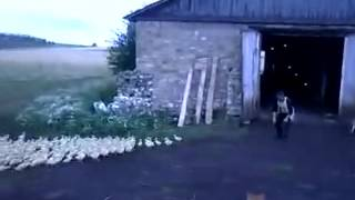 Ducks At Attention - YouTube