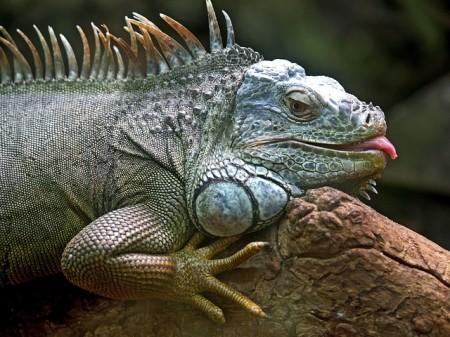 Iguana - Public Domain