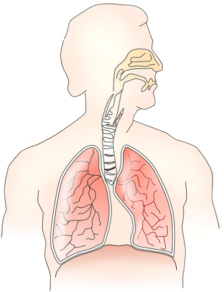 Respiratory System - Public Domain