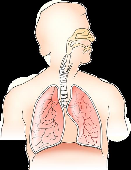 Respiratory System - Public Domain