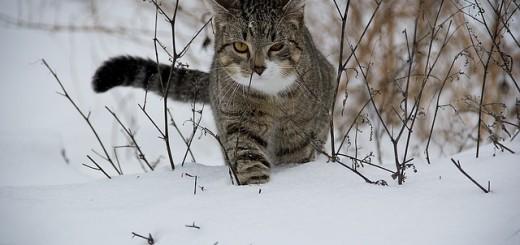 Snow Cat - Public Domain
