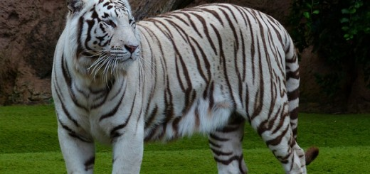 White Tiger - Public Domain