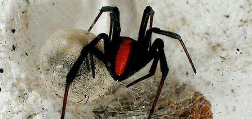 Redback Spider - Photo by mikeblogs on Flickr