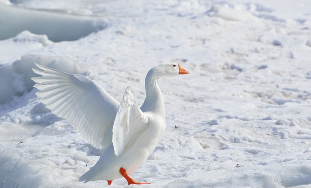Goose Snow - Public Domain