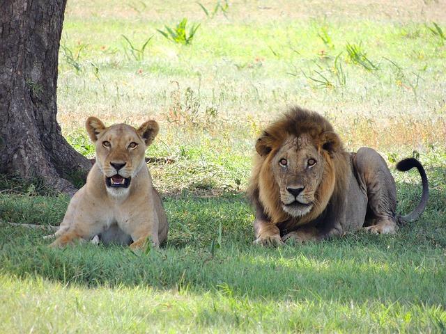 Lions - Public Domain