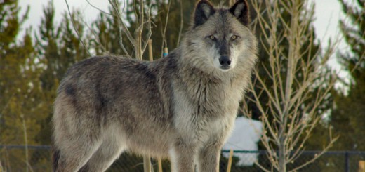 Wolf - Photo by Dennis Matheson on Flickr