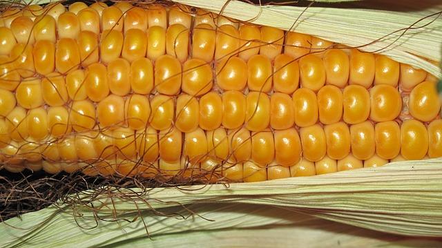 Corn - Public Domain
