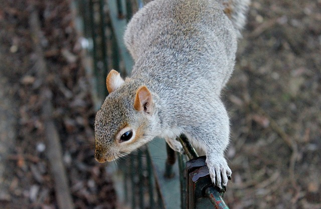 Squirrel - Public Domain