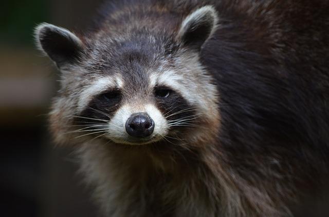 Raccoon - Public Domain