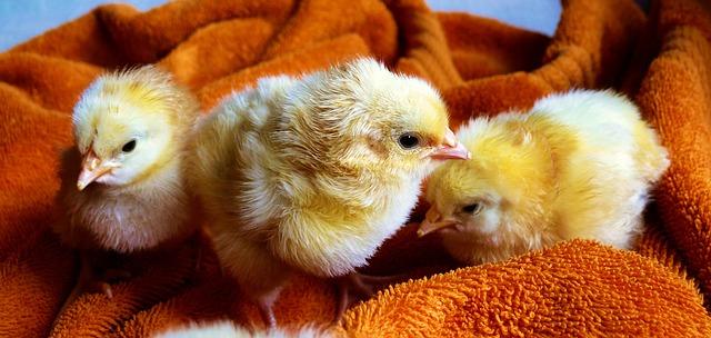 Chicks - Public Domain