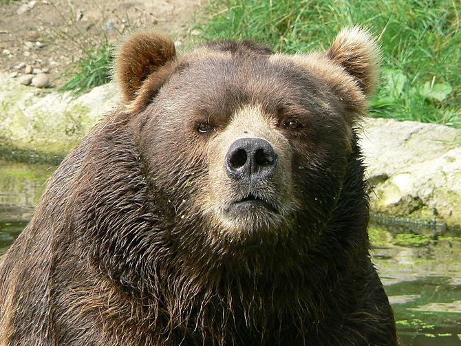 Bear - Wikipedia