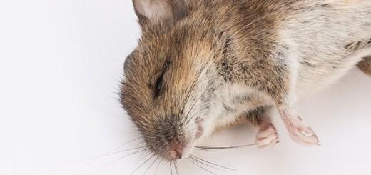 mouse - Public Domain