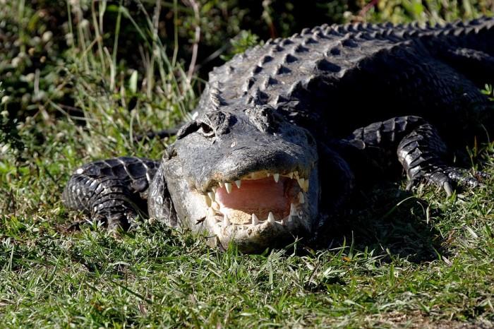 Alligator - Public Domain