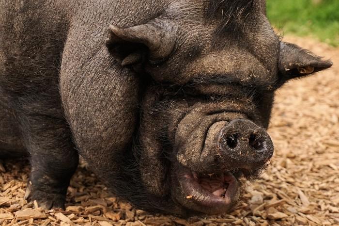 America The Pig - Public Domain