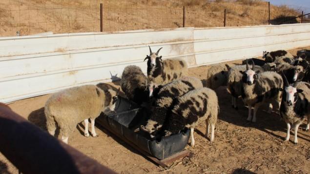 biblical-sheep-the-friends-of-jacob-sheep
