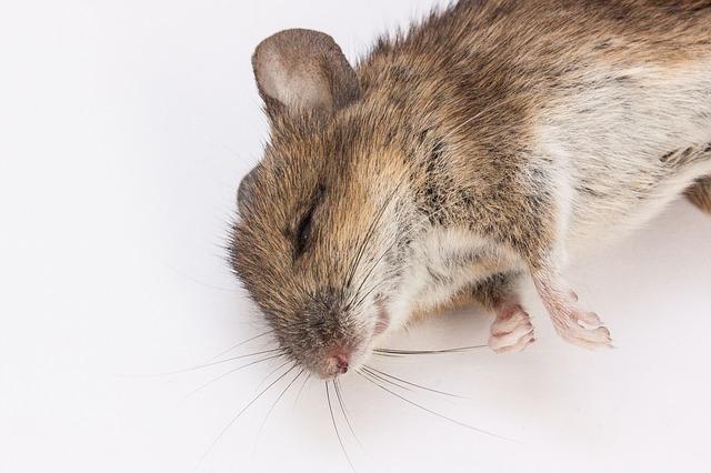 mouse-public-domain