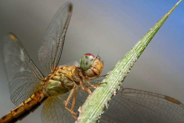 Dragonfly - Public Domain