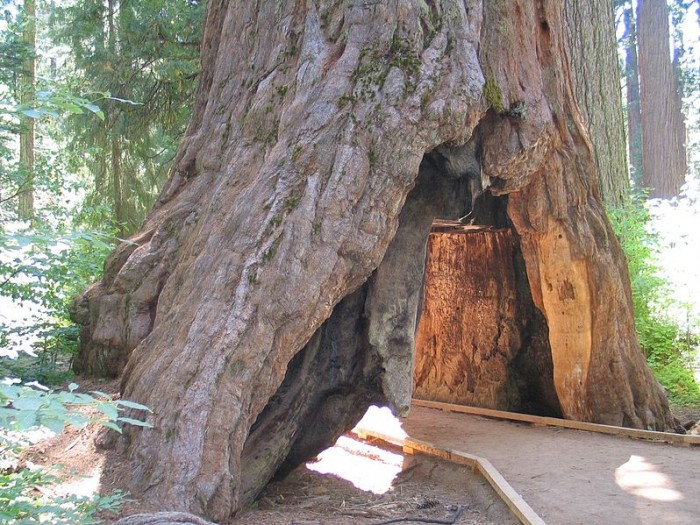 tunnel-in-the-pioneer-cabin-tree-public-domain