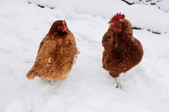Chicken Have Intellect